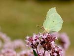 Fjäril i min trädgård