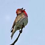 Sjungande rosenfink
