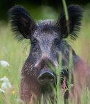 Porträtt på ett svin