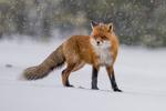 Tjocksvans i snöfall
