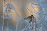 Frostig morgon hos Sävsparven