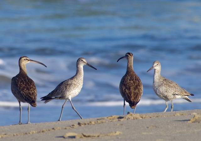Willets and Whimbrels
