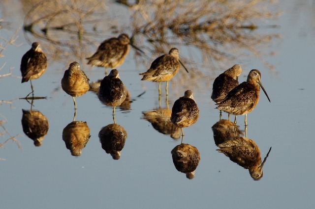 Long-billed Dowitchers