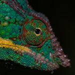 #2780770 Panther Chameleon. Fångenskap Madagaskar