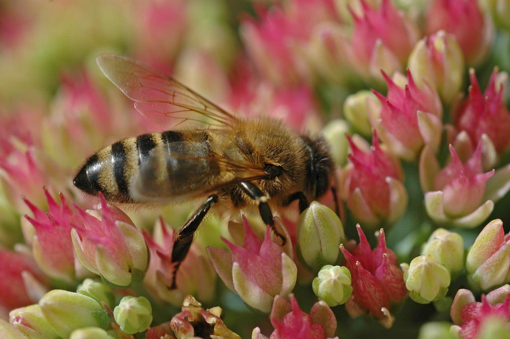 Ett-Bi-suger-nektar-från-Sedumblommor 2004