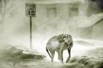 Hund i snöstorm