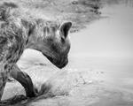 Överhettad Hyena