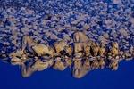 Løver ved vannhull i Etosha Nationalpark i Namibia