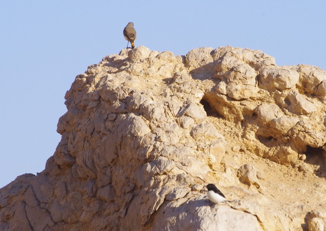 Red-tailed and Hume´s wheatear