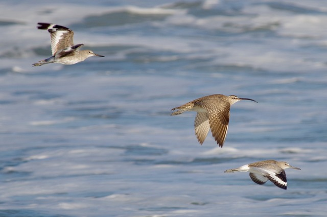 Willets and Whimbrel flying