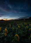 Nightsky over the field of sunflowers
