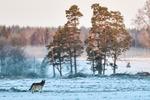 Vild varg Värmland