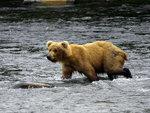Brunbjörn i Brooks River, Alaska