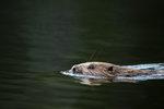 Simmande bäver 2