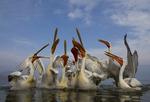 Krushuvade Pelikaner