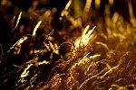Gräs i kvällssolen
