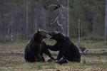 Bjørn viser styrke