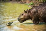 Kajmanen och Kapibara