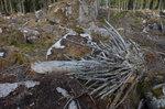 Avverkad gammelskog