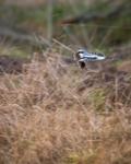 Varfågel med byte