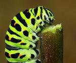 Makaonfjärilslarv