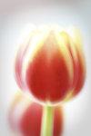 tulpen van Amsterdam