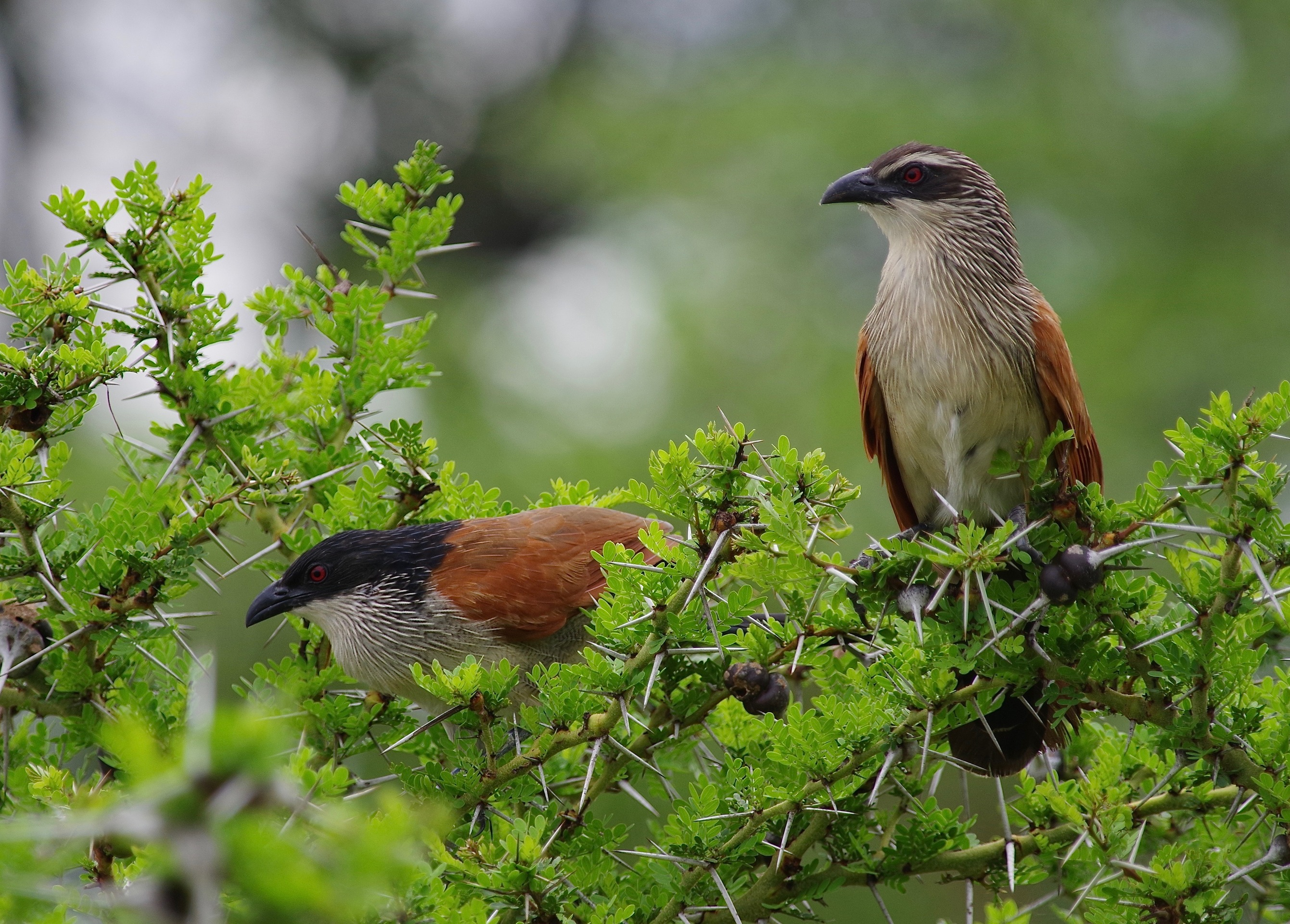 White-browed Coucal + hybrid mellan dito och Burchell's