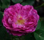 Fler rosor från gården