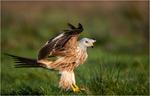 Gladan landade mycket nära gömslet,fantastiskt vacker fågel på så här nära håll.