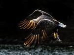 Den gyllene örnen