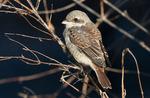 Törnskata 1k fågel