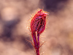 Blomknopp