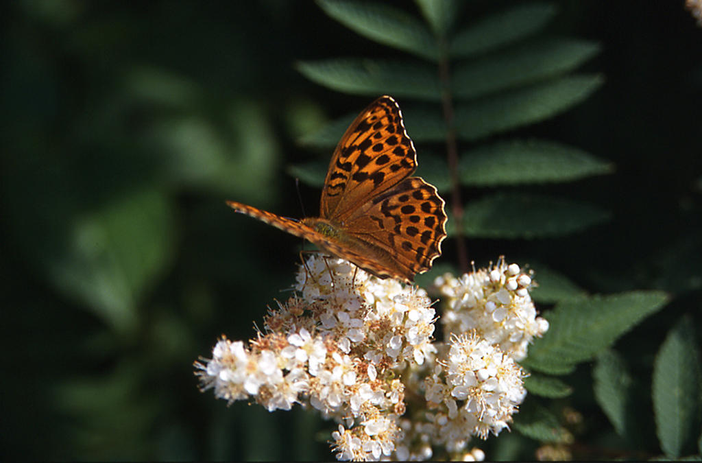 Pärlemorfjäril på blommande Rönnspirea 2002
