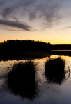 Sedges at sunset