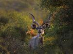 Tragelaphus strepsiceros (Kudu)