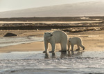 Familjen isbjörn