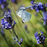 Flygande fjäril