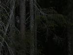 Lappuggla i gammelskog