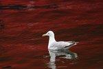 Mås i rött hav