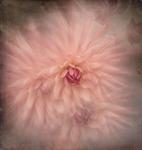 Rosa dahlia