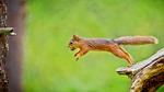 Squirrel in a jump