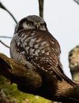 Hökuggla på Stora Amundön