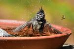 Tofsmes i badet