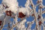 frostbär