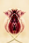 Drottning av Tulipan