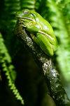 Skönt grön groda