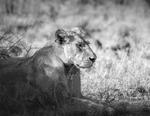 Lejon i skuggan