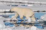 Isbjörn på packisen runt svalbard