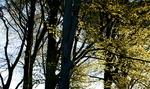 Solträd