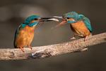 Kungsfiskarna tar väl hand om varandra